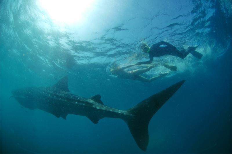 Walhai mit Schnorchler