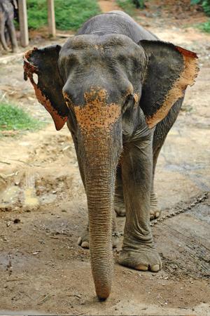 vorderansicht_elefant