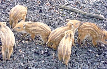 wildschweinbabys